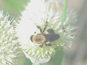 Bumblebee on Green Onion Flower