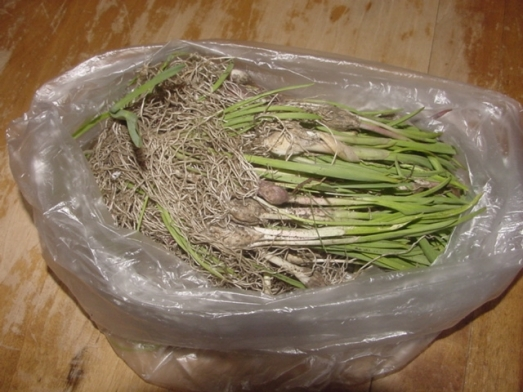 spring-garlic-2009