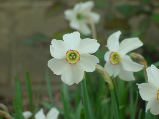 poets narcissus