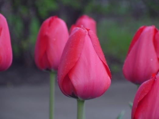 tulip-5-2009