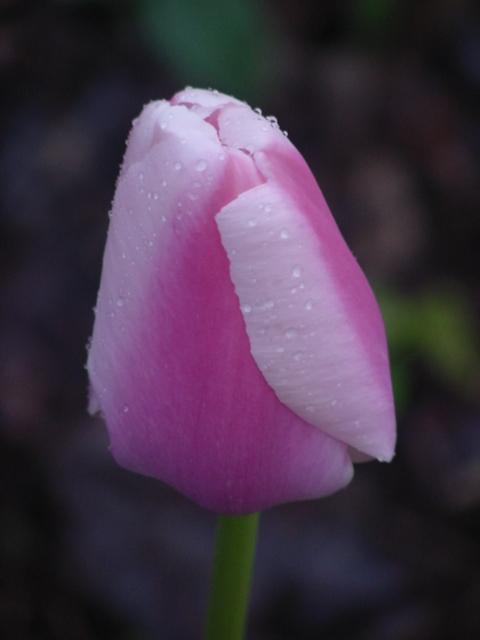tulip-6-2009