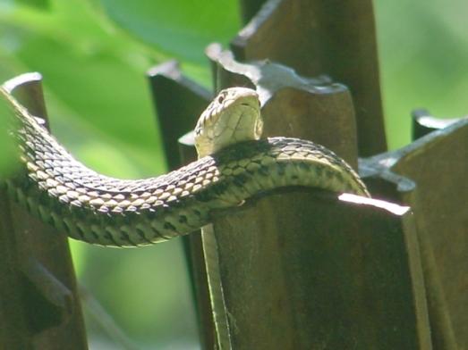 eastern garter snake 1