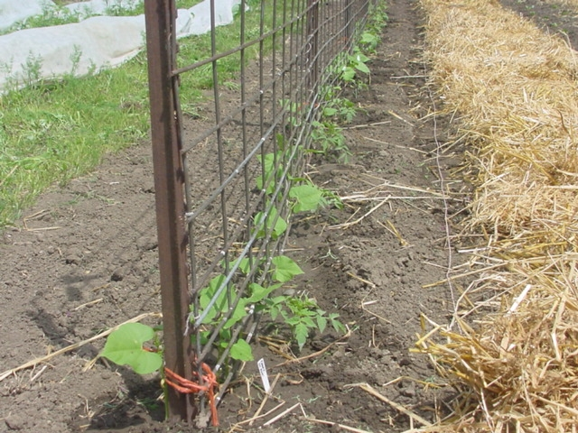 25 New Trellis for Pole Beans Graphics Titolo