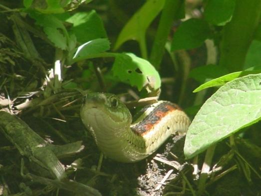 western garter snake 1