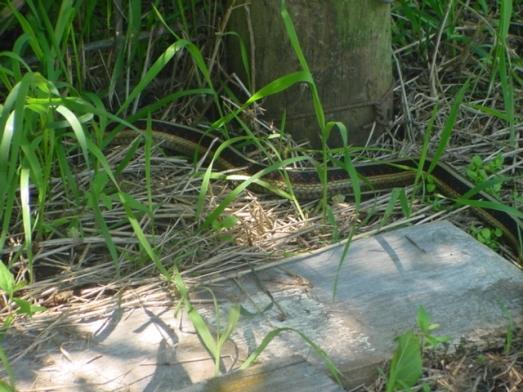 western garter snake 2