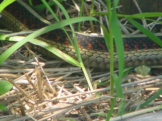 western garter snake 3