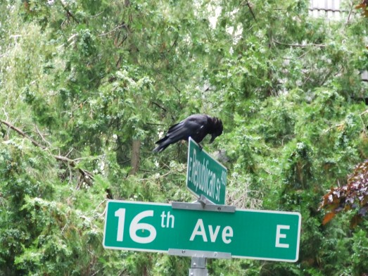 Crow on street signs