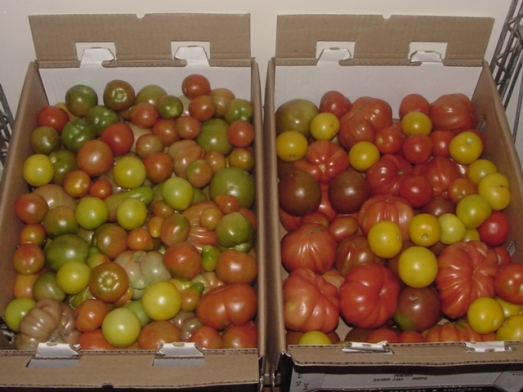 ripening heirloom tomatoes