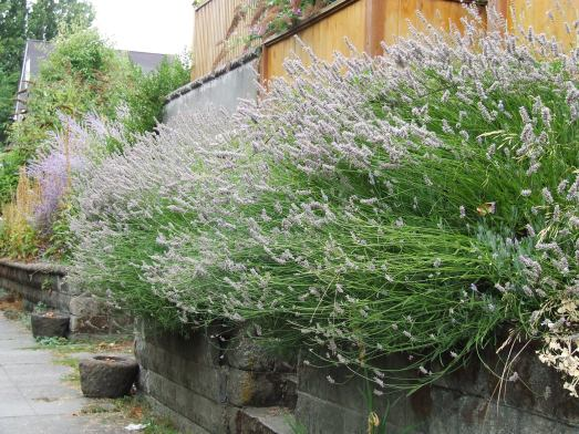 Wall of lavender 1