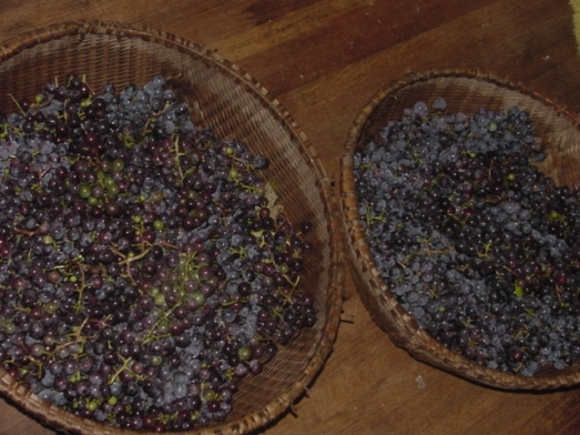 Concord Grape 2 harvest 2009