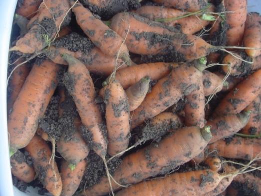 carrots 2009