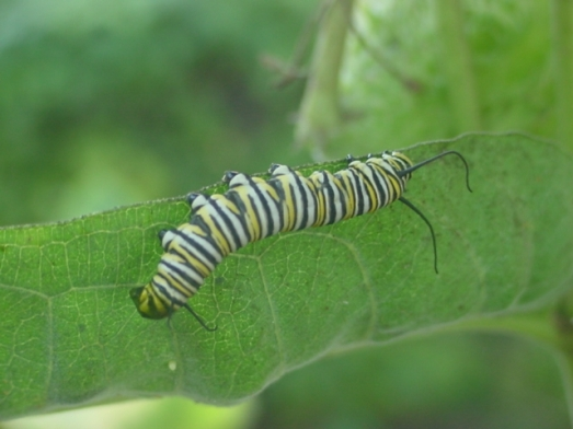 monarch caterpillar 1